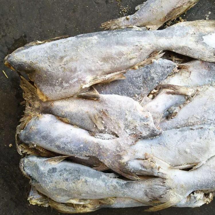 Scegliere Produttore Alta Qualità In Diretta Pesce Gatto E In