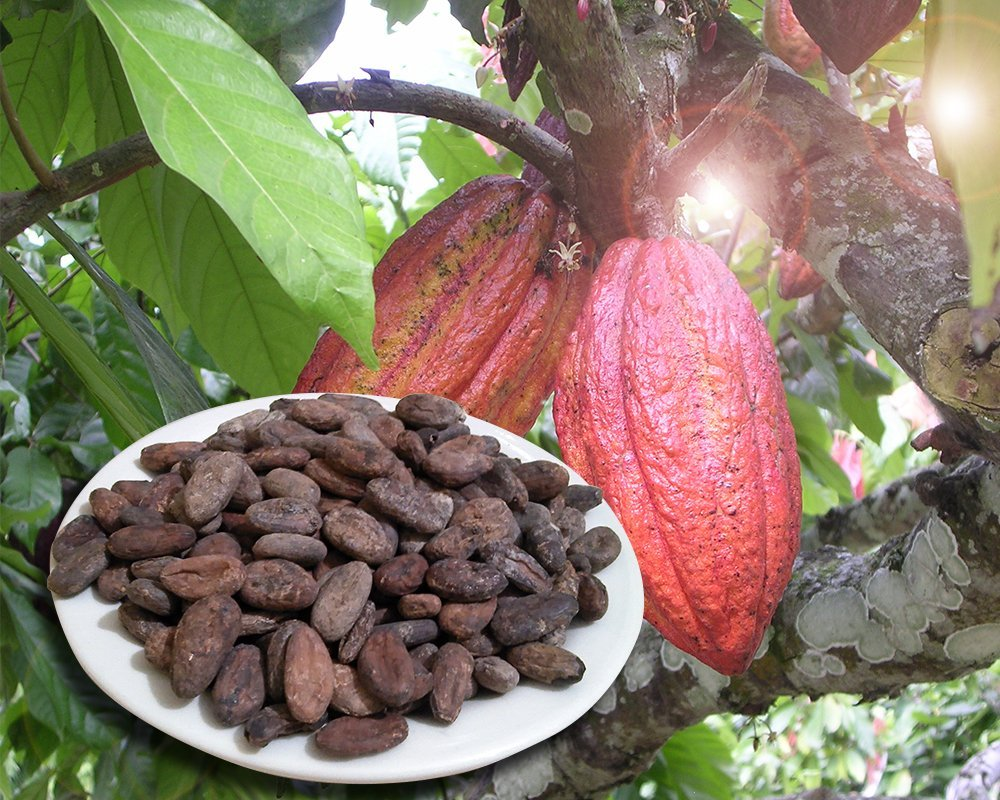 Cocoa vs cacao which is healthier
