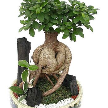 4000 Gram Ginseng Ficus Microcarpa Buy Ficus Jinseng Ficus Microcarpa Pohon Bonsai Ficus Microcarpa Bonsai Product On Alibaba Com