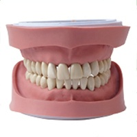 Dental Study Teeth Jaw Model with Screw Fixed Teeth Model with 28pcs Teeth for Dental education Using dental school