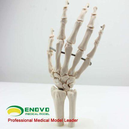 Buy One 12349 Hand Bonenatural Size Human Hand Joint Skeleton