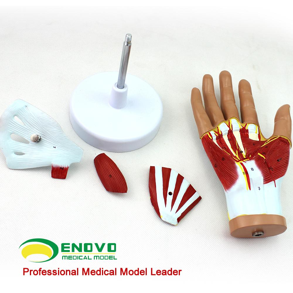 Venta al por mayor anatomía humana musculos-Compre online los ...