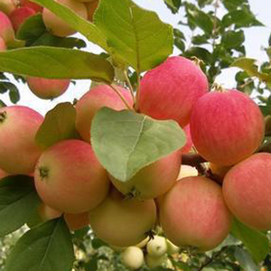 wholesale chinese mature royal gala apple wood apple fruit