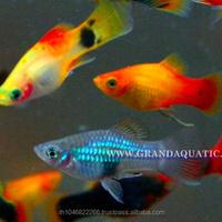 Arowana Aquarium