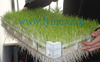 wheat alfalfa barley sorghum corn grass plastic seed fodder tray for seeds sprouting