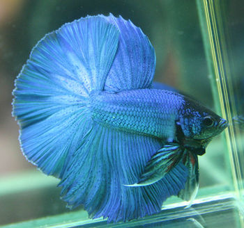 Betta fish blue red and white buy betta fish product on for Order betta fish