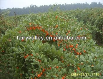 Goji Berries Health Benefits Are Very Wide Come Here To Be Chinese
