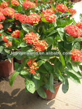 Ixora shrub trees different color and varities