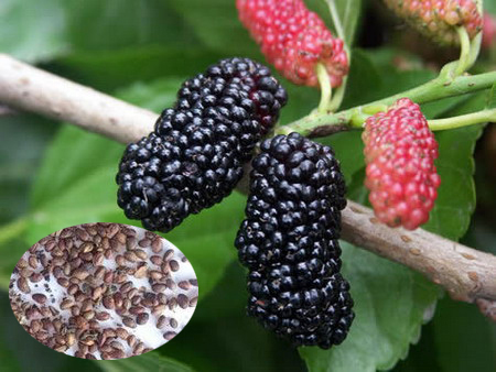 Fruit Tree Seeds Mulberry For Growing