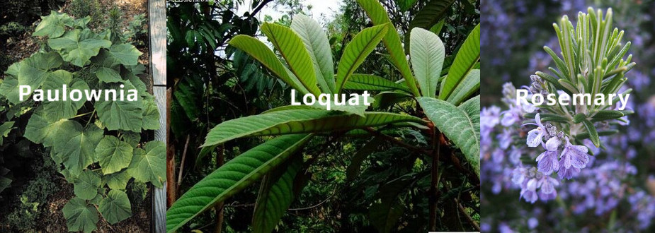 Herbal Extract Paulownia Leaf Loquat Leaf Rosemary Extract Ursolic ...