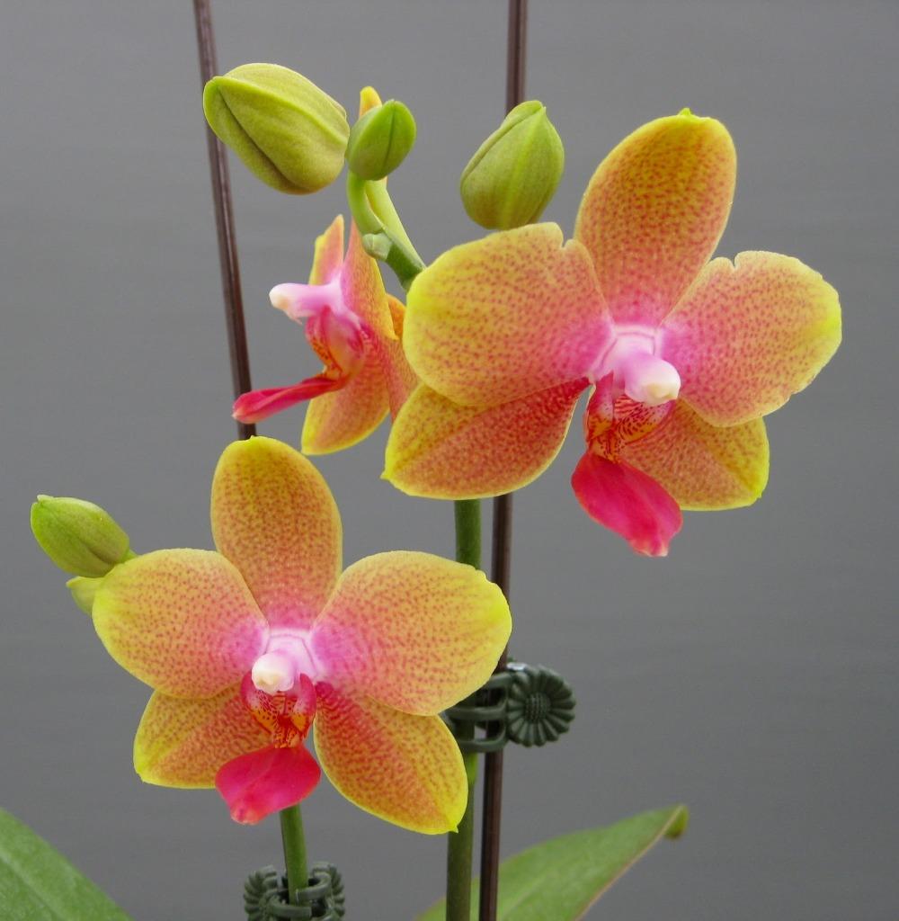 orchid e plante cadeau promotion achetez des orchid e plante cadeau promotionnels sur aliexpress. Black Bedroom Furniture Sets. Home Design Ideas