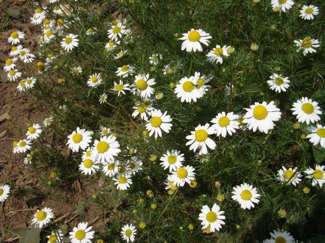 Hierbas aromaticas y medicinales plantas aromticas y for Hierbas aromaticas y medicinales