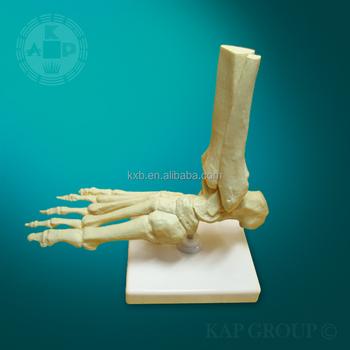 Advanced Pvc Medizinische Anatomischen Menschlichen Fuß-modell ...