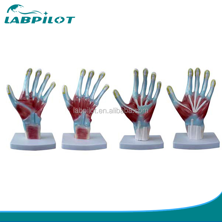 Medical Anatomical Model Of Palm,Hand Anatomy Model - Buy Anatomy 3d ...