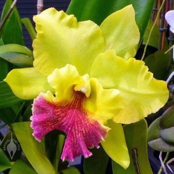 Cattleya hybrids cattleya orchids various colors buy cattleya hybrids cattleya orchids