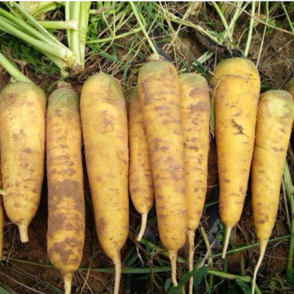 No hybrid heat resistant yellow carrot seeds best price for sale