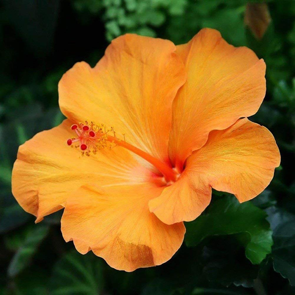 Cheap Planting Hibiscus Seeds Find Planting Hibiscus Seeds Deals On