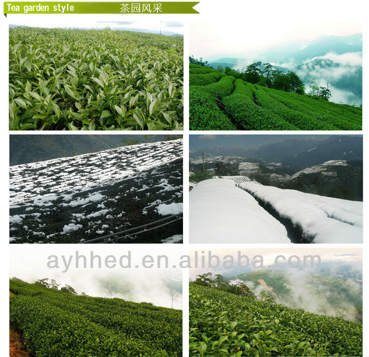 Precious High Mountain Tai Wan Jin Xuan Milk Oolong Tea - 4uTea | 4uTea.com