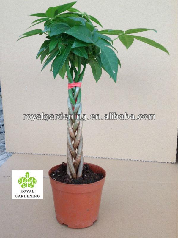 Pachira aquatica prix for Acheter une plante verte