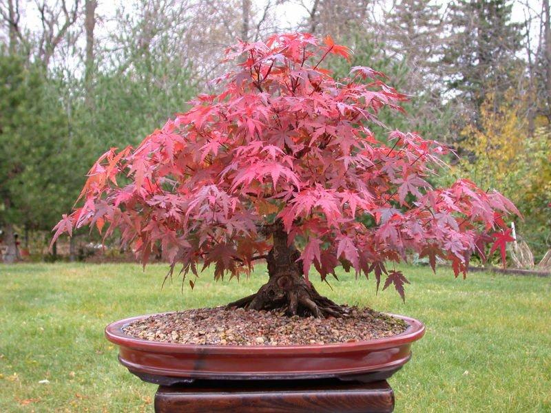 bonsa rouge japonais rable bonsai id de produit 116744963. Black Bedroom Furniture Sets. Home Design Ideas