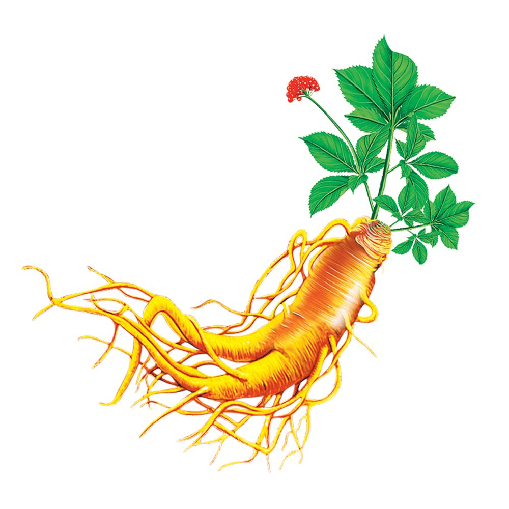 Supply Dried Panax Ginseng Root - Buy Korean Ginseng Slice Cut ...