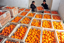 Wholesale fresh mandarin orange in price