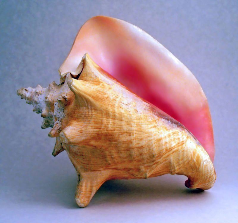 Mother Of Pearl Conch Shells