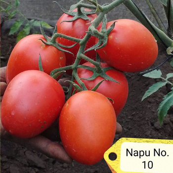 Excellent Red Napu 10 High Yield Red Fruit Hybrid Tomato Seed From China
