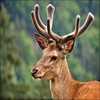 High quality Deer antler velvet powder / Deer Velvet Extract 4:1