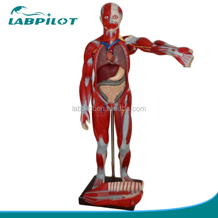 Deluxe 170 Cm Human Anatomy Organs Modelfull Body Musles