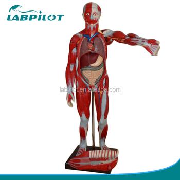 Deluxe 170 Cm Human Anatomy Organs Modelfull Body Musles Model