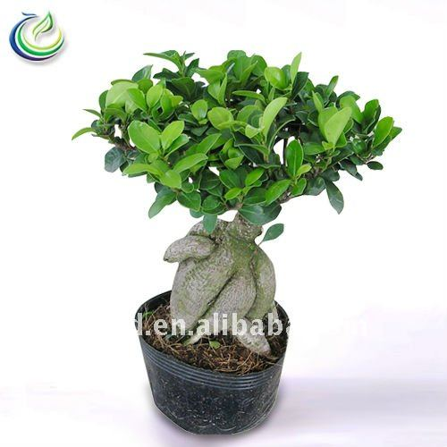 ficus ginseng bonsai. Black Bedroom Furniture Sets. Home Design Ideas