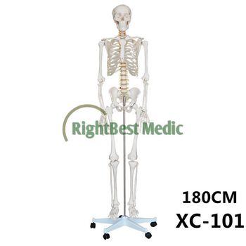 human skeleton model teaching human life size skeleton human, Skeleton