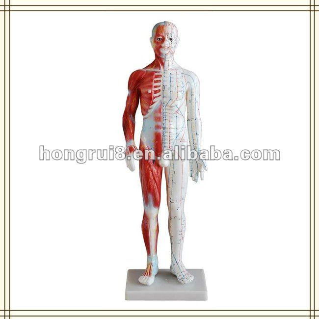 ISO Human Acupuncture Model with muscle anatomy, 60CM Male Acupuncture Model