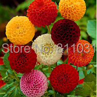 100 dahlia seeds pompon beautiful gardens gorgeous flower mix color bonsai plant free shipping