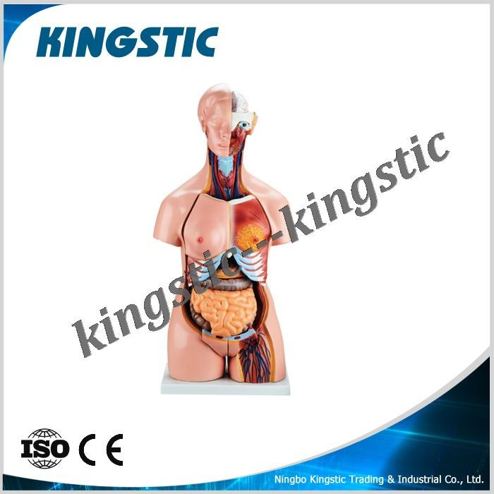 85cm Bisexual Torso 24 Parts,Anatomical,Anatomy Torso Model,Human ...