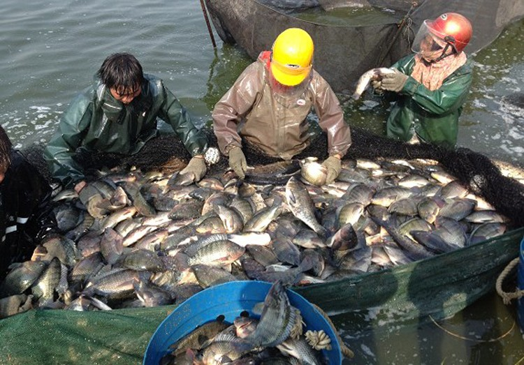 Frozen whole tilapia fish farm raised tilapia in china for Tilapia fish farming