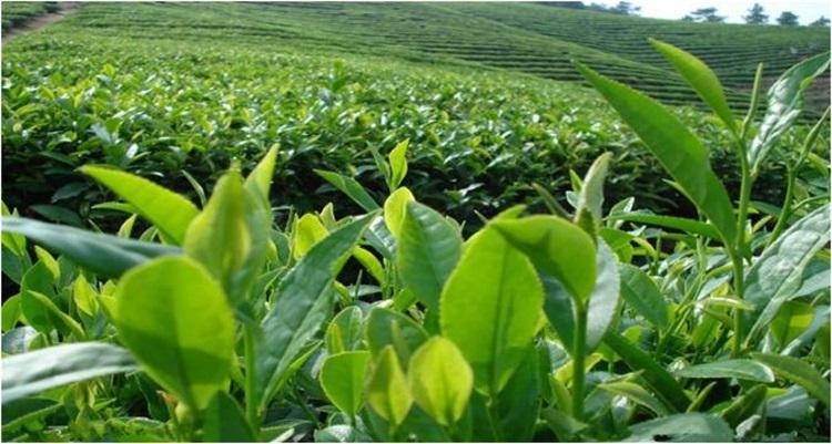 Private Label Organic Jade Leaf Matcha for Matcha Smoothies,Matcha Lattes - 4uTea | 4uTea.com