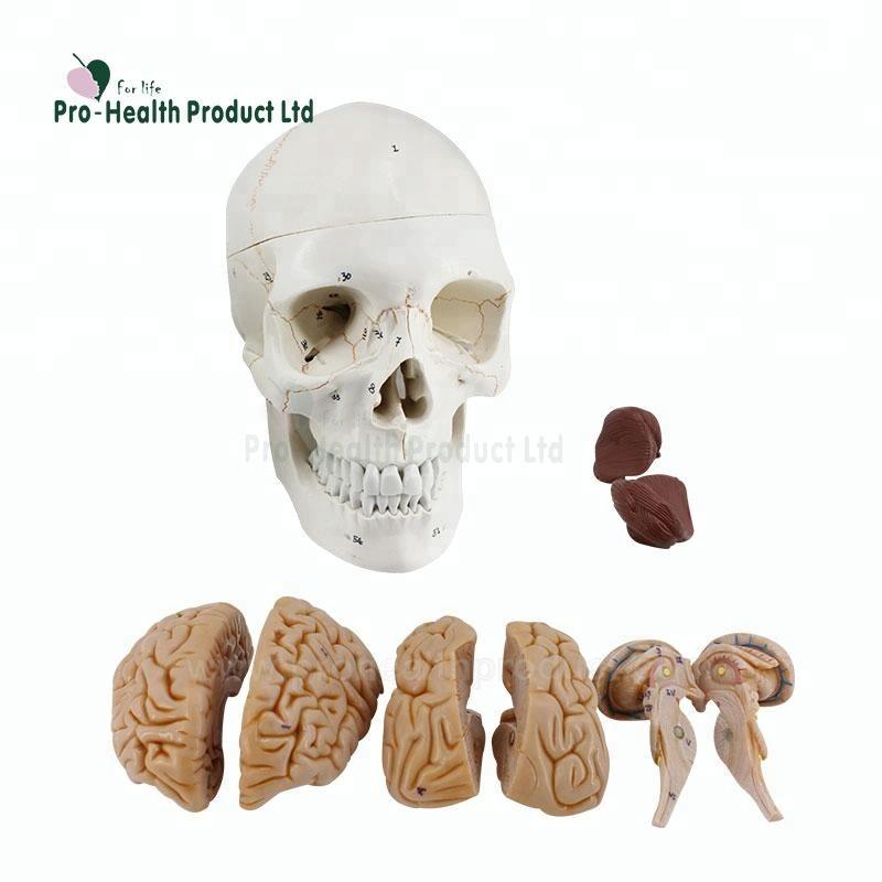 Großhandel anatomie modell gehirn Kaufen Sie die besten anatomie ...