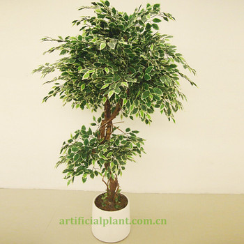 15 meters small ficus tree - Ficus Trees
