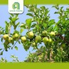 Hot selling import fruit with high quality fresh gala apples