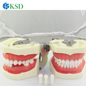 chinese dental material supply,plastic teeth model,teeth model with jaws