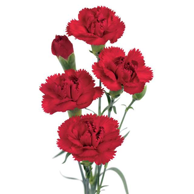 Claveles flores frescas cortadas identificaci n del for Plantas ornamentales clavel