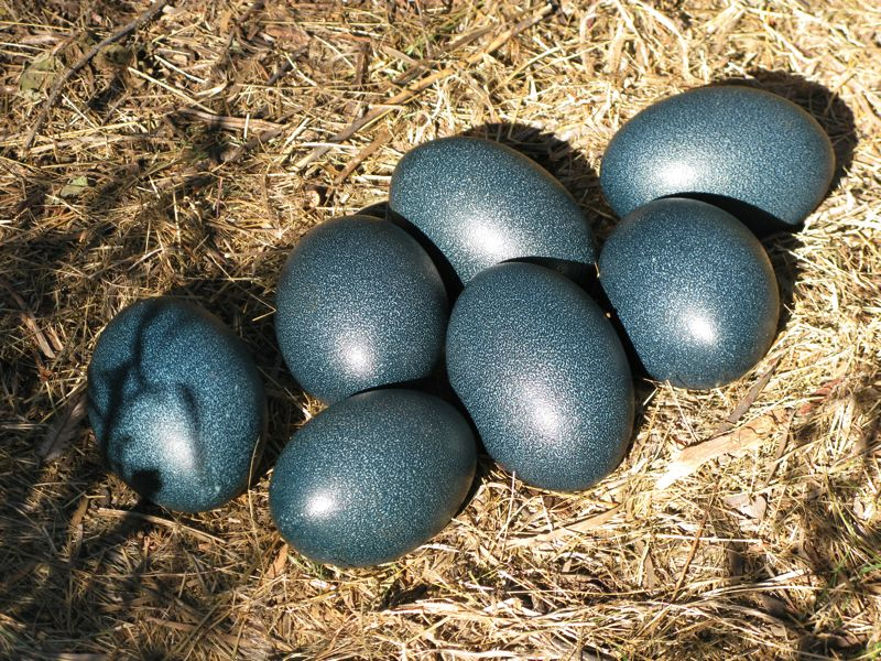 Fertile Emu Eggs For Sale