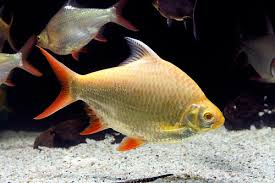 TROPICAL GOLDEN TINFOIL BARB