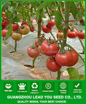 nt221 aobao hot sale hybrid tomato seeds big seed fruit vegetable seed