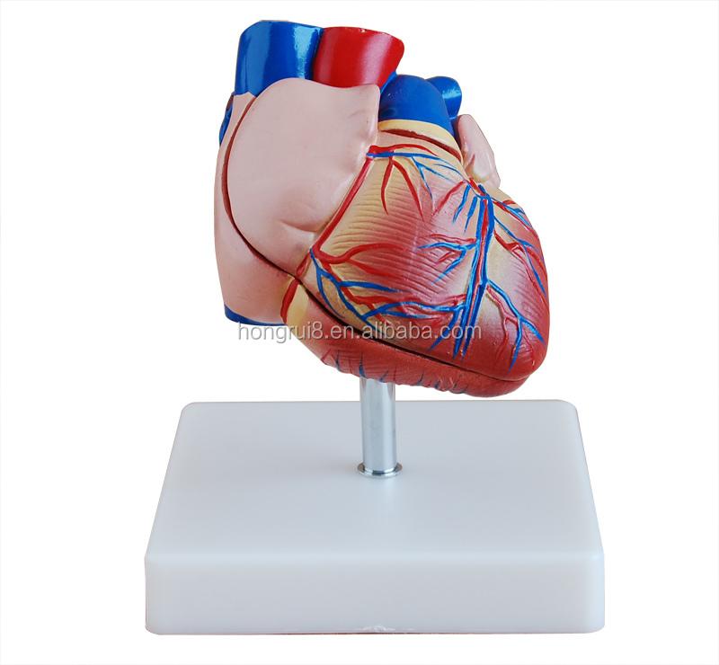 Ventas Calientes Adulto Humano Anatomía Del Corazón Modelo Médico ...