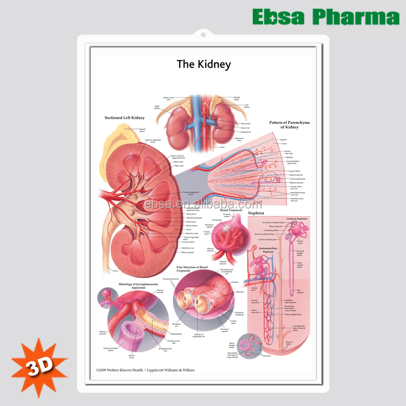 3d Medical Human Anatomy Wall Charts Poster The Kidney Buy