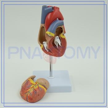 Pnt-0400 Plástico Modelo De Anatomía Del Corazón - Buy Product on ...