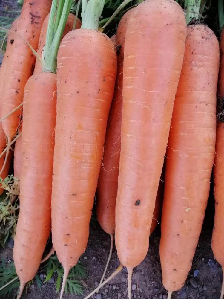 High quality fresh carrot vegetables hot sale